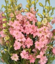 Larkspur-light Pink