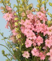 Larkspur-light Pink