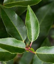 Laurel Foliage