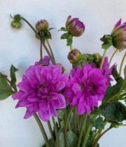 Dahlias, Field-lavender