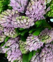 Hyacinth-lavender