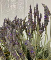 Lavender, Fresh