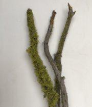 Lichen Branch