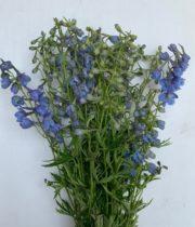 Delphinium, Belladonna-light Blue
