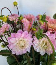 Dahlias, Field-light Pink