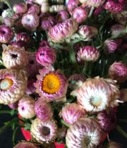 Strawflower-light Pink
