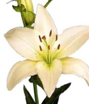 Lily Asiatic-cream
