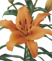 Lily Asiatic-orange