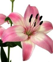 Lily Asiatic-light Pink