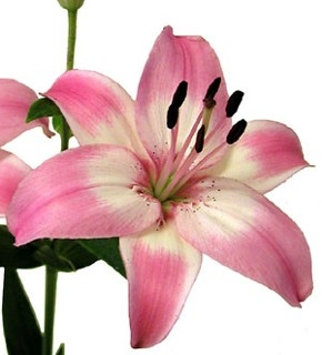 wholesale flowers | Asiatic Lily- light pink