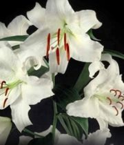 Lily Oriental, Casa Blanca-white