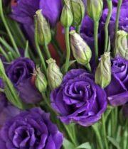 Lisianthus-purple