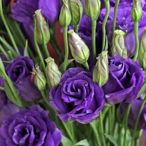 wholesale flowers | lisianthus-purple