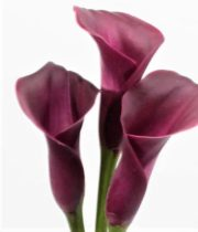 Callas, Mini-burgundy