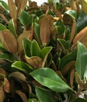 Magnolia Leaf Foliage