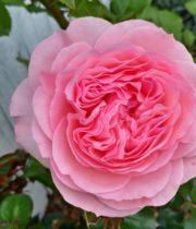 Rose Garden, Mariatheresia-SA