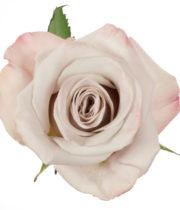 Rose, Menta-SA