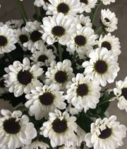 Mums, Spray-Micro Daisy-white