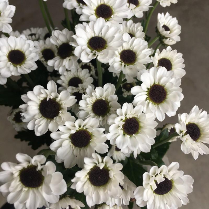 Micro Daisy Mum white