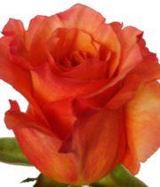 Rose, Milva-SA