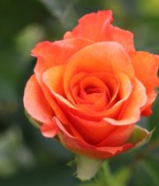 Orange Milva Roses, CA