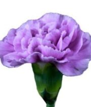 Carnations, Mini-lavender