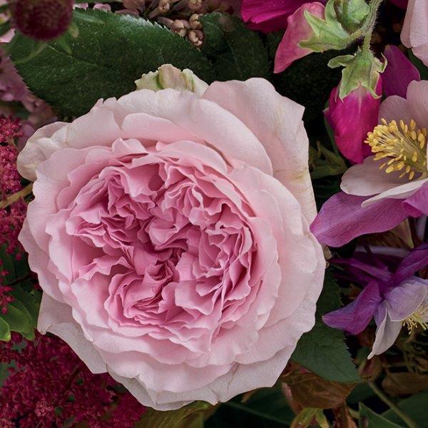 Miranda Garden Rose