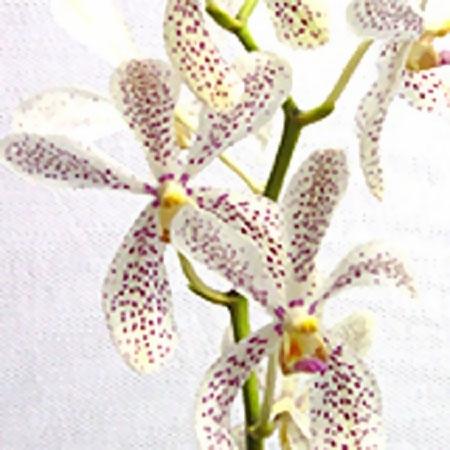 wholesale flowers | orchid- mokara christine