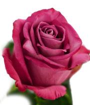 Rose, Moody Blues-SA