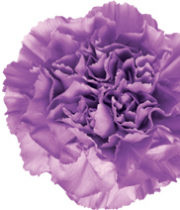 Carnations, Moonlite-light Purple