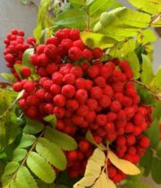 Mountain Ash Berries-red
