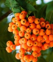 Mountain Ash Berries-orange