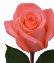 Rose, Movie Star-SA
