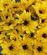 Mums, Spray-Novelty-Sunflower-yellow