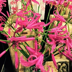 wholesale flowers | nerine Lily-hot pink