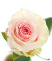 Rose, Nena-SA