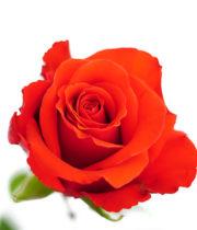 Rose, Nina-SA