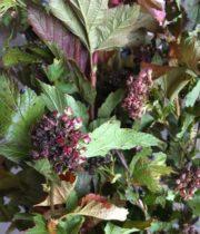 Ninebark, Summer Wine-burgundy