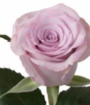Rose, Ocean Song-SA