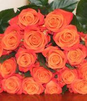 Rose, Orange Crush-SA
