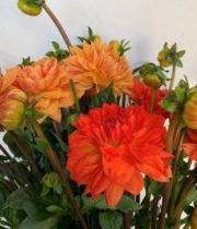 Dahlias, Field-orange