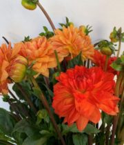 Dahlias, Field-orange