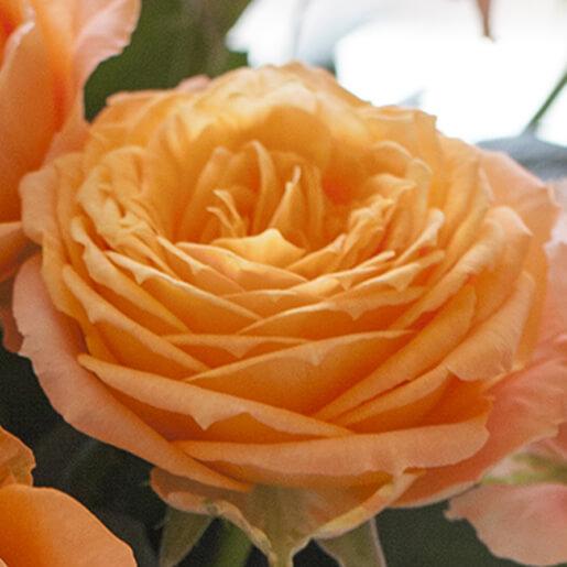 Orange Romantica Rose