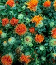 Safflower-orange
