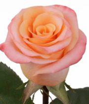 Rose, Orange Unique-SA