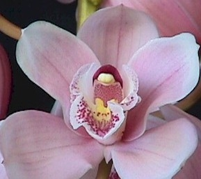 wholesale flowers | orchid- c ymbidium pink