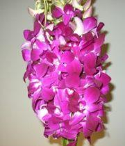Orchid, Dendrobium-Sabine-purple