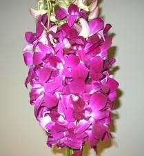 wholesale flowers | orchid- dendrobium sabine