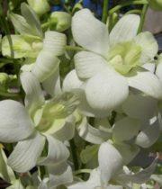 Orchid, Dendrobium-white