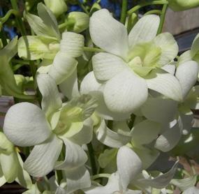 wholesale flowers | orchid- dendrobium white